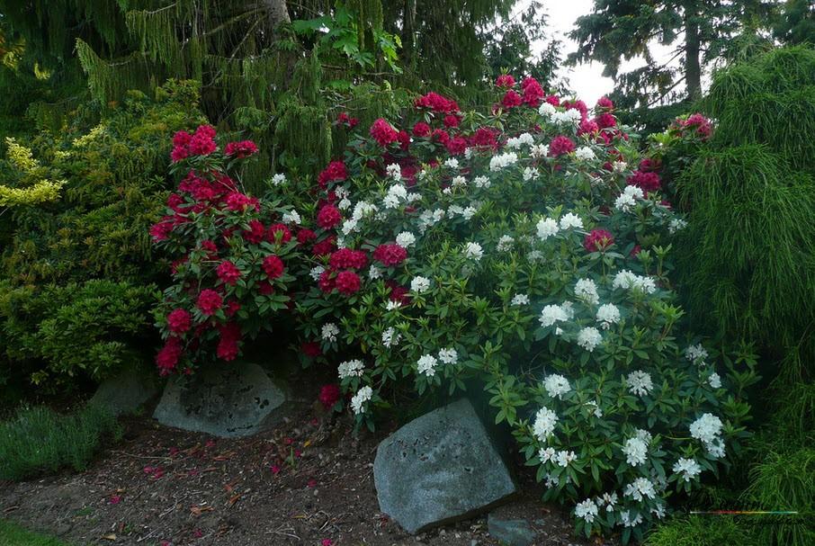 Пышные цветение