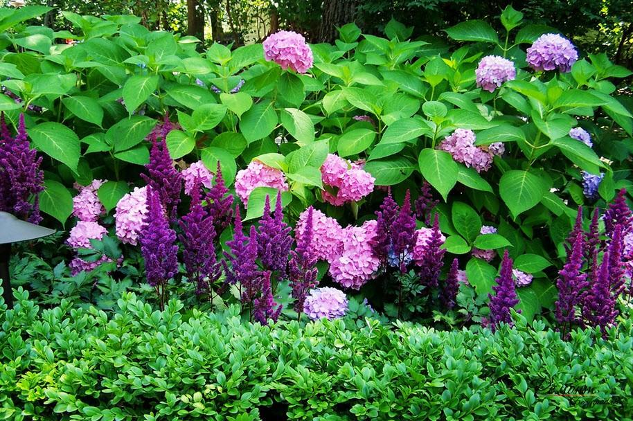 Сиреневые цветы астельбы
