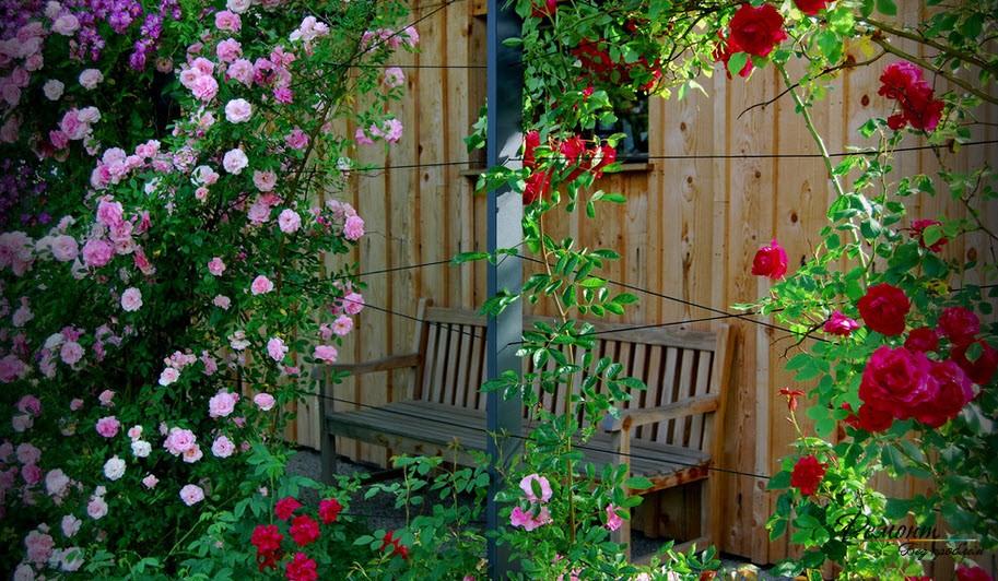 Вьющиеся розы на изгороди