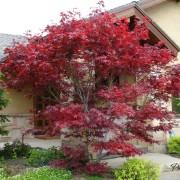 Очень красивое дерево с красными листьями способно стать настоящим акцентом всей композиции