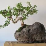 Японский бонсай — декоративное дерево фото в интерьере