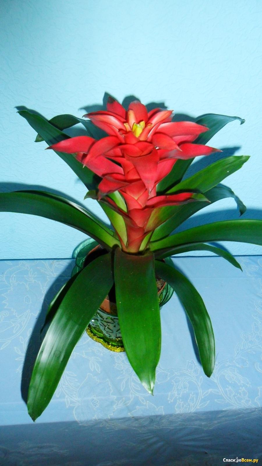 Крупный цветок гузмании