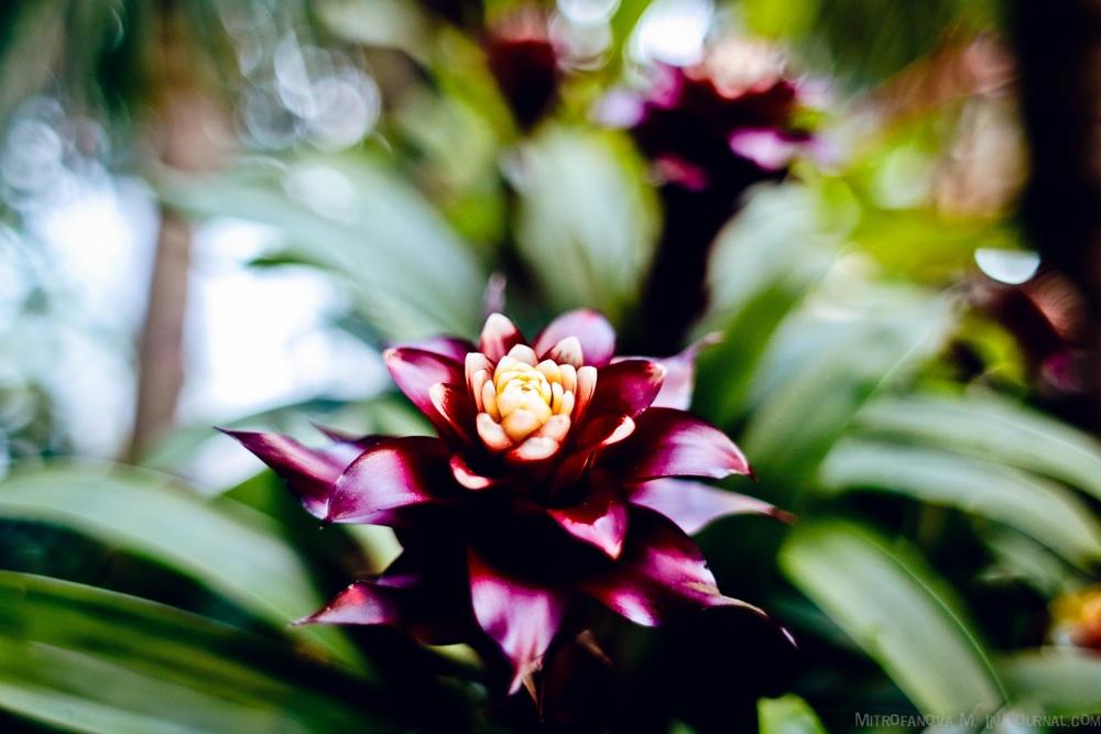 Темный цвет листьев гузмании