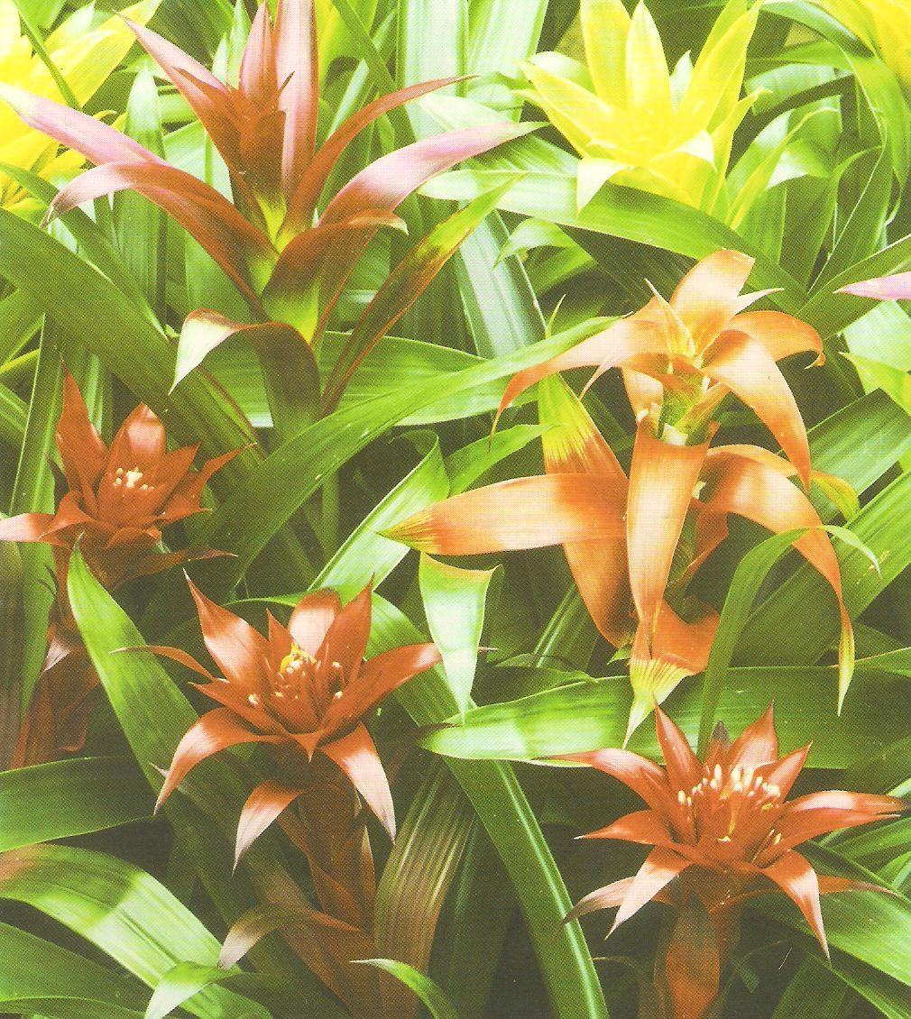 Оранжевый и зеленый цвета на листьях гузмании