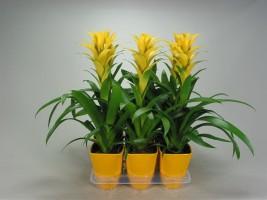 Желтые гузмании