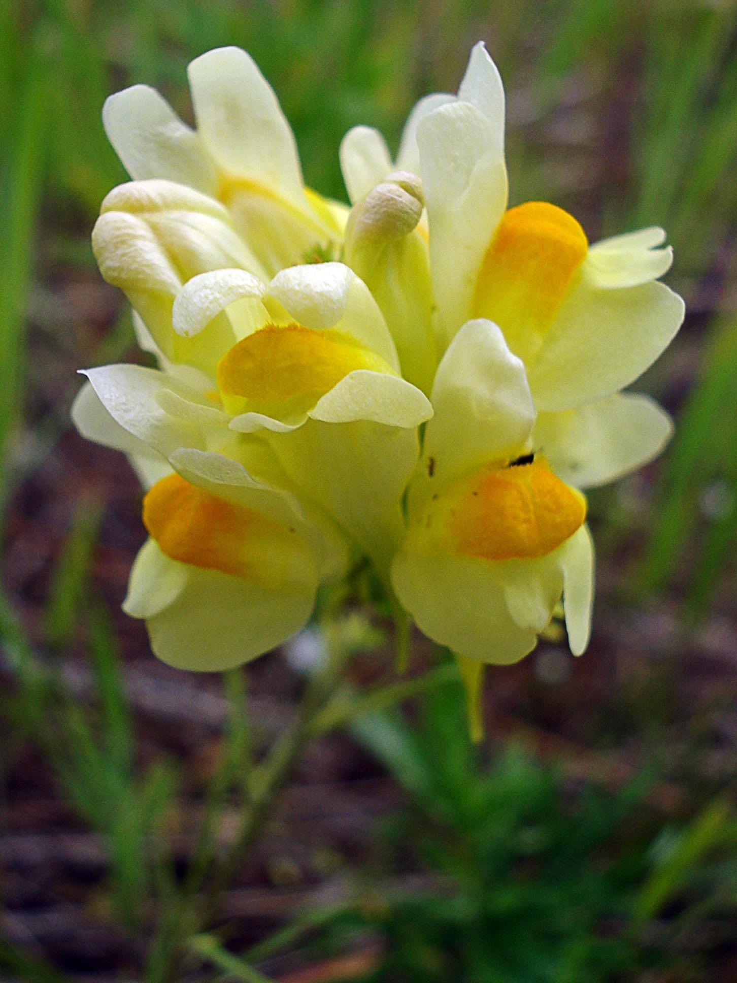 Желто-белые цветы львиного зева