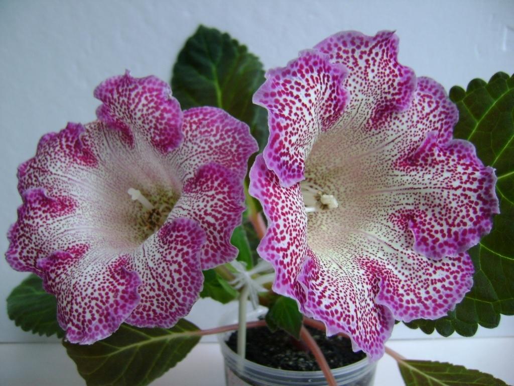 Розовая глоксиния в крапинку
