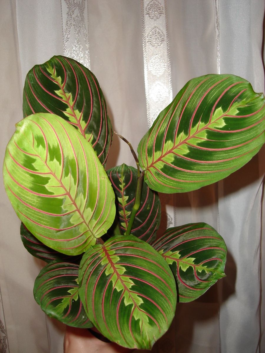 Светлые листья маранта