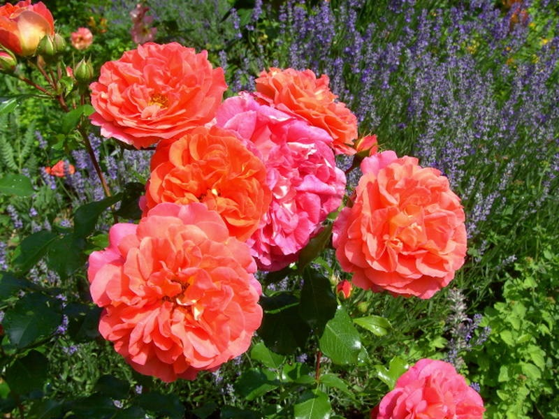 Яркий оттенок розы флорибунда