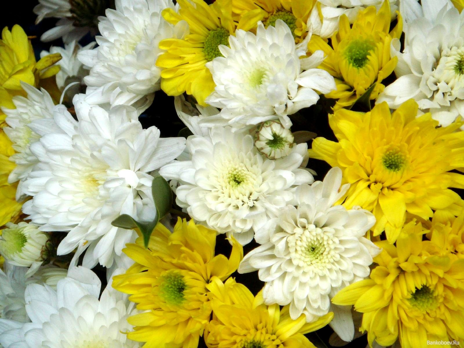 Сочетание белых и желтых хризантем в одном букете