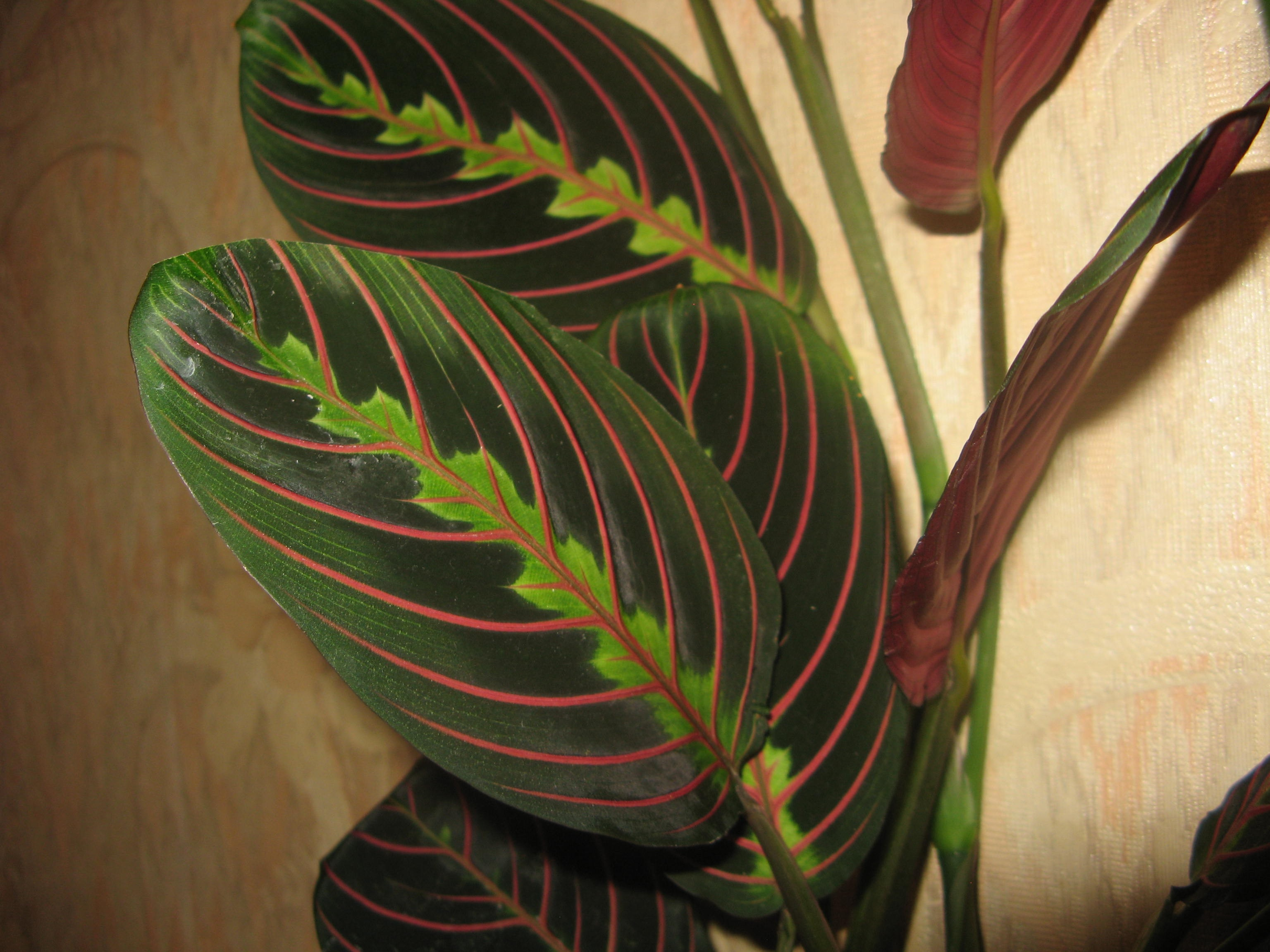 Сочетание светло-зеленого и темно-зеленого на листьях