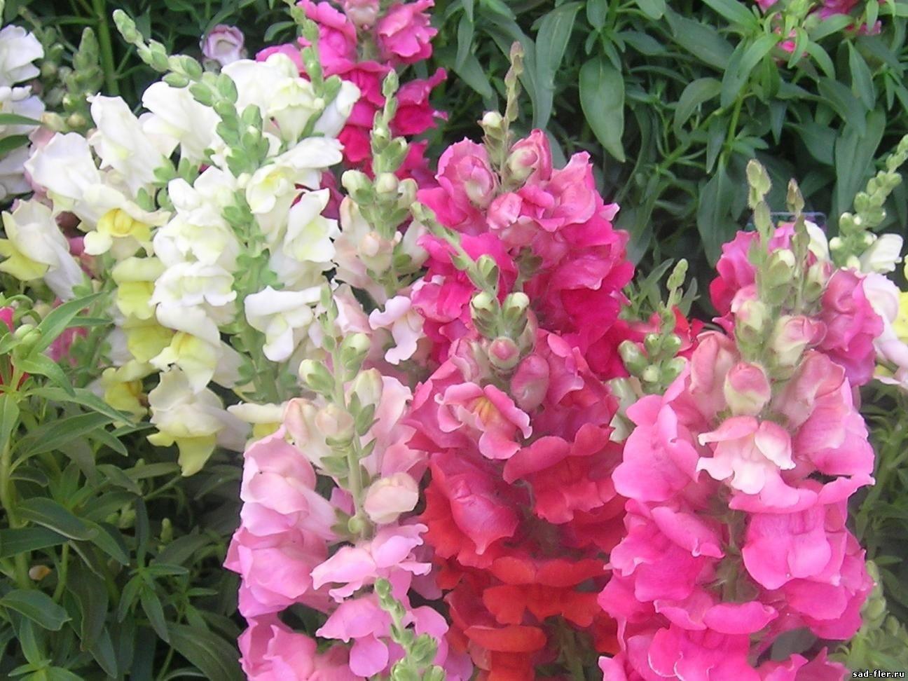 Сочетание розовых и белых цветов на одной клумбе