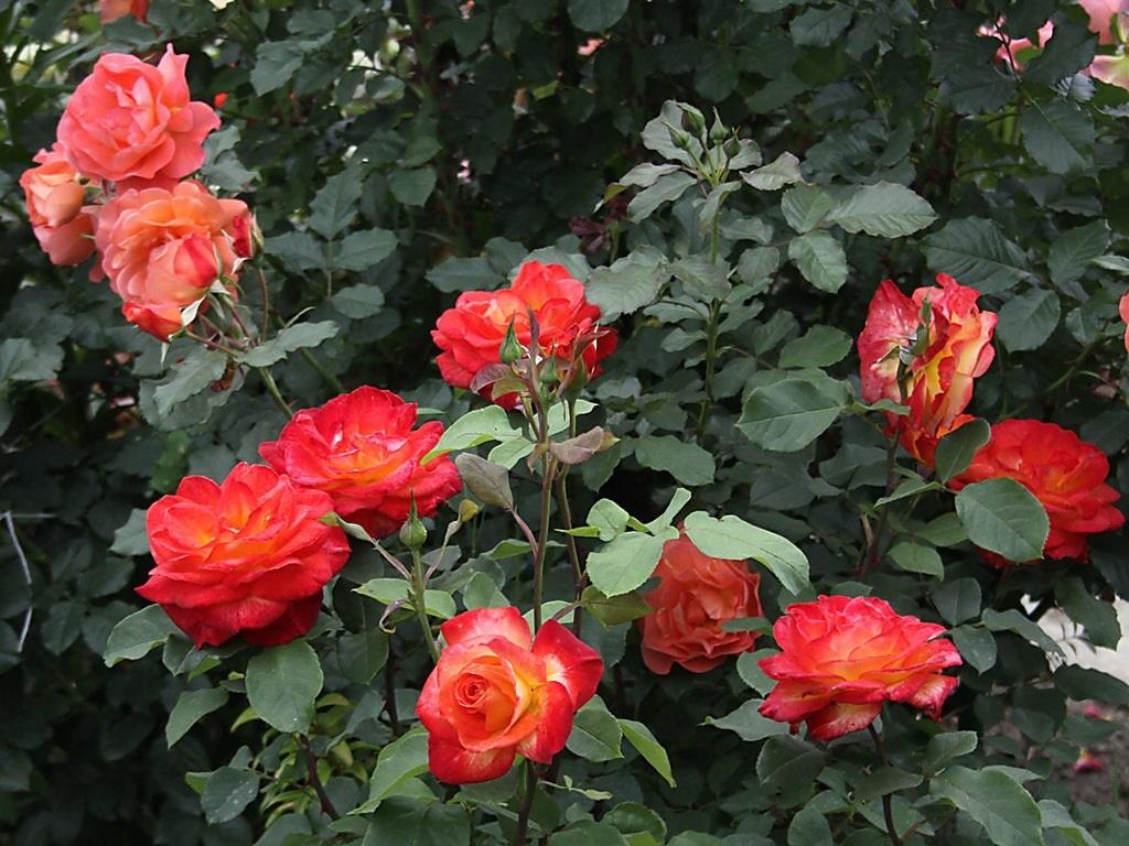 Яркие цветы розы флорибунда