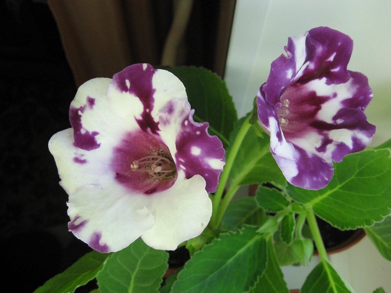 Глоксиния (Gloxinia) .
