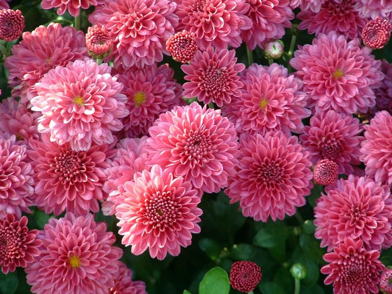 Рожеві пухнасті хризантеми