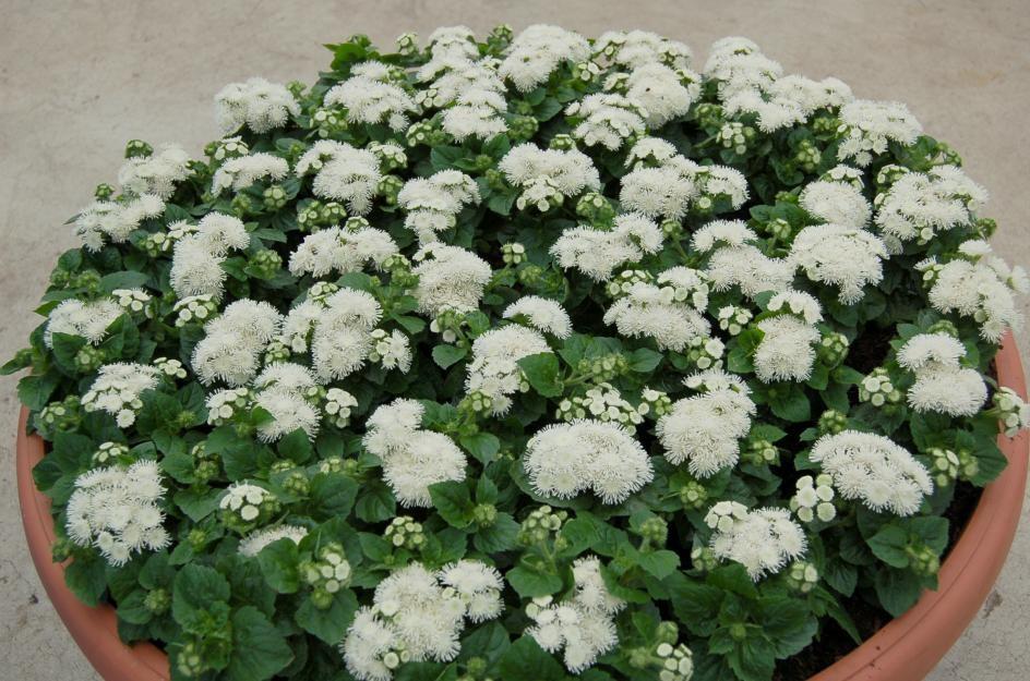 Белые кусты агератума