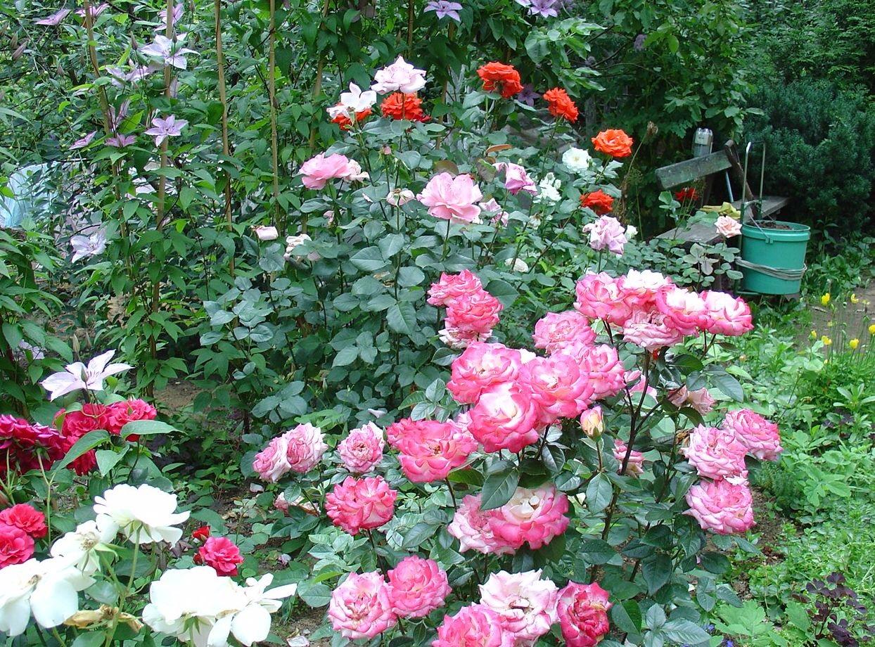 Разные  оттенки роз на одной клумбе