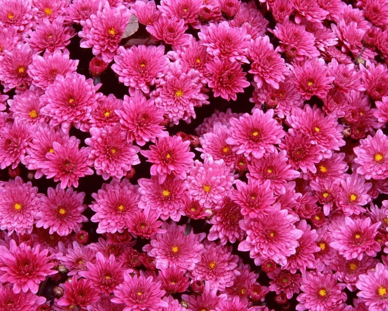 Ярко-розовые хризантемы