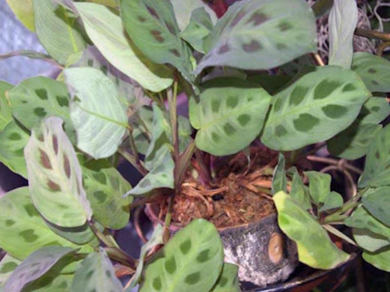Крупные пятна на листьях маранты