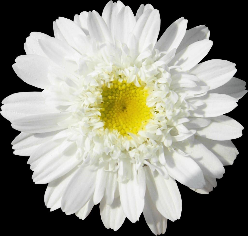 Біла квітка хризантеми крупно