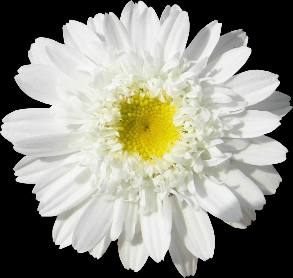 Белый цветок хризантемы крупно