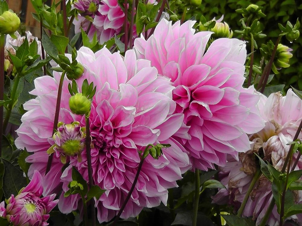 Нежно-розовые георгины