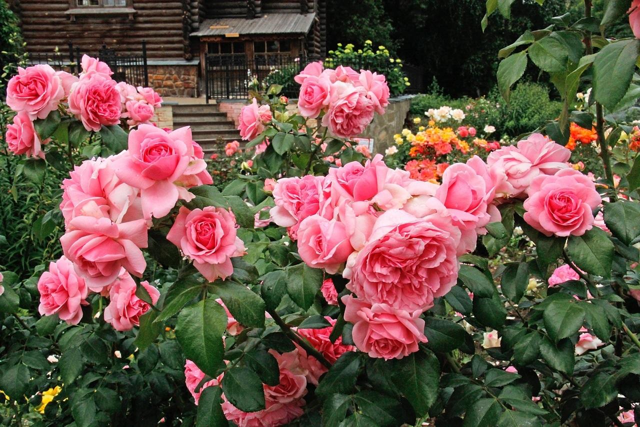 Розовое великолепие розы флорибунда