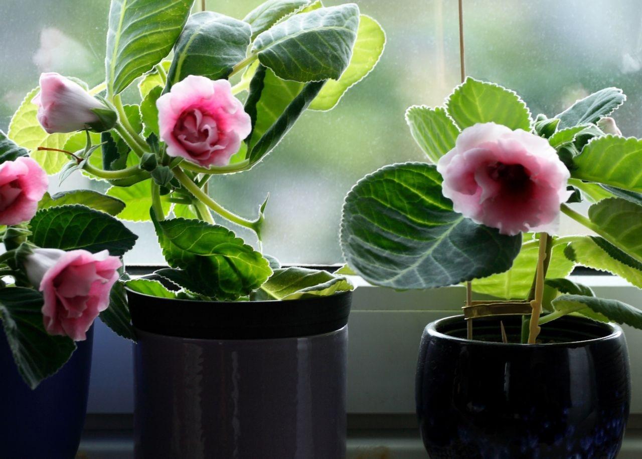 Нежно-розовые цветы глоксинии