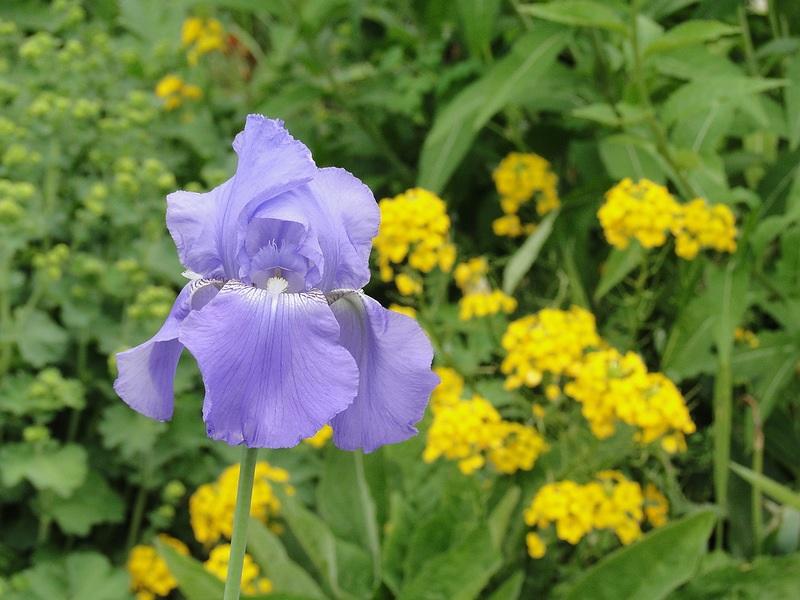 Сиреневое цветение на клумбе