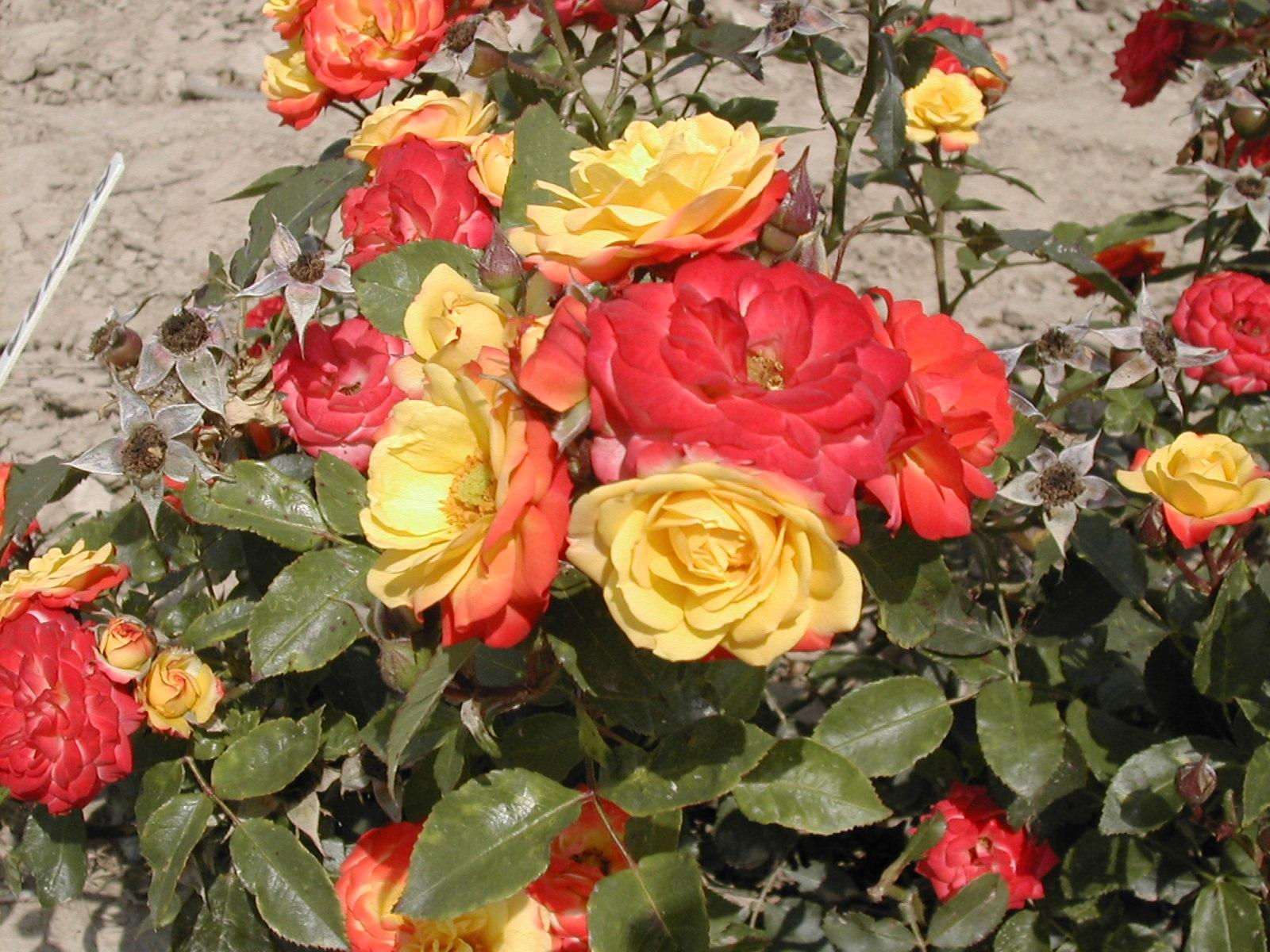 Пестрое цветение роз