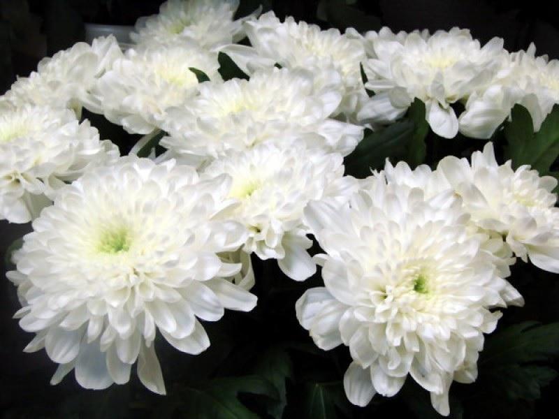 Дрібноквіткові білі хризантеми
