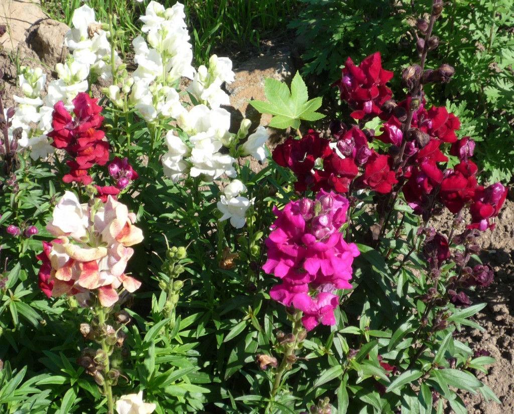 Разнообразные оттенки цветков львиного зева