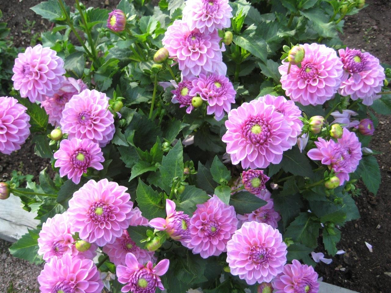 Небольшие цветы георгин