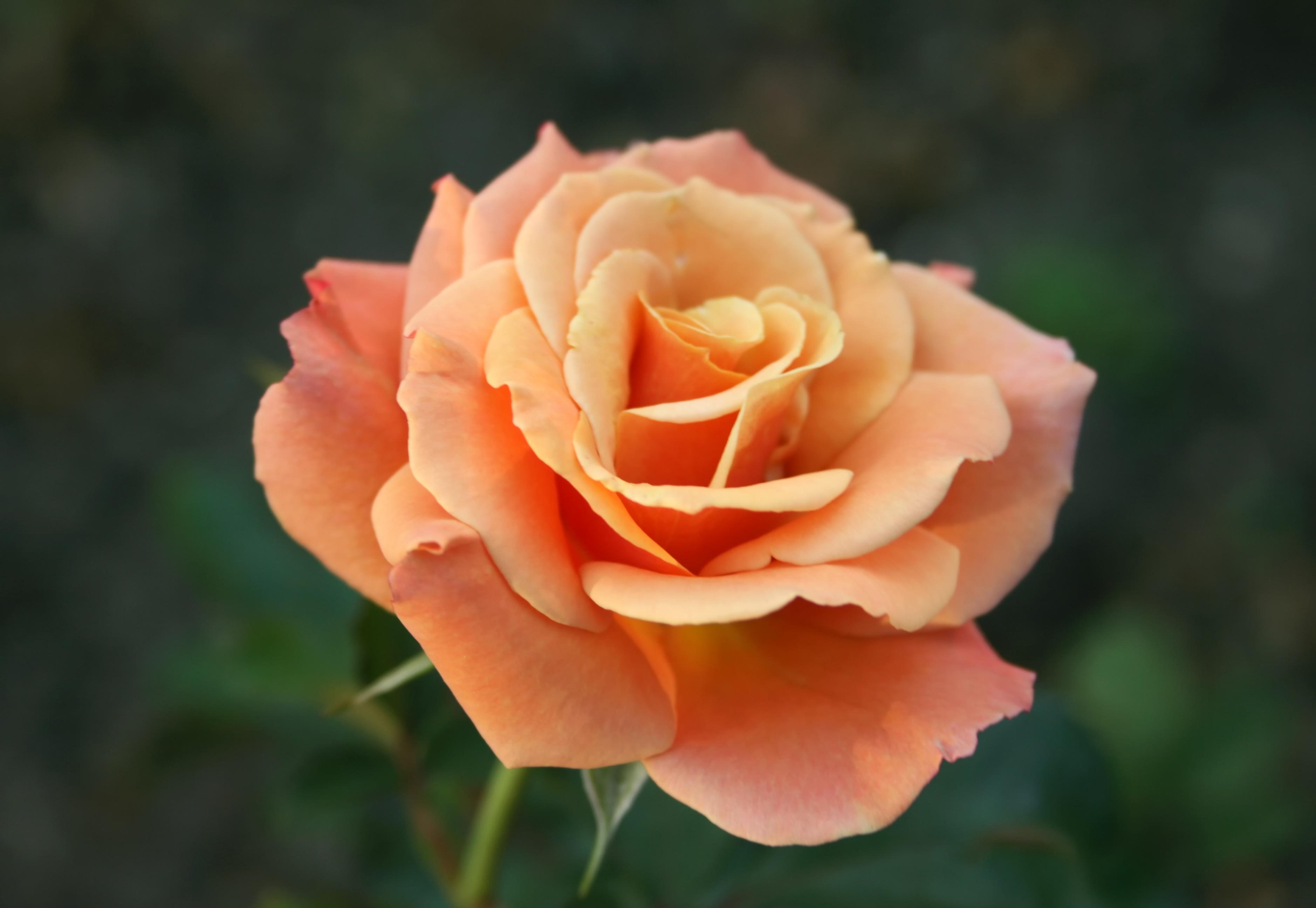 Нежный цветок розы