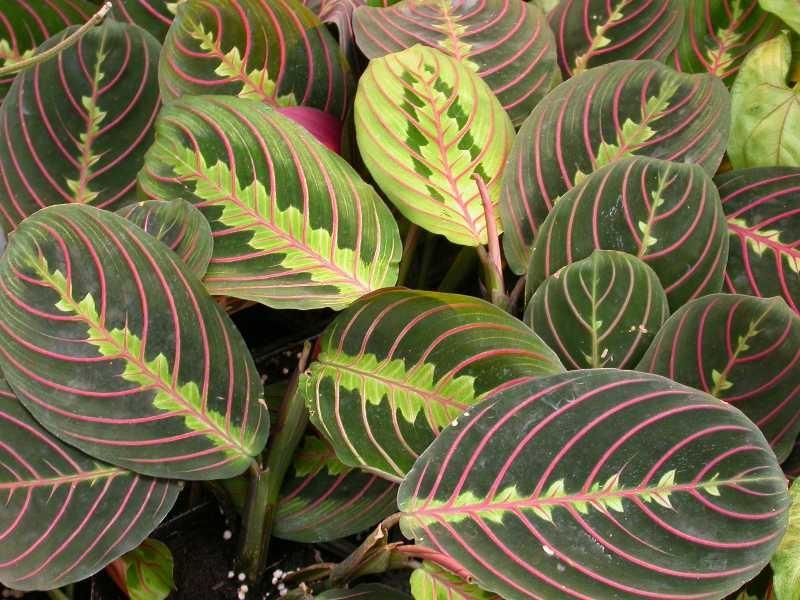 Свежие листья маранты