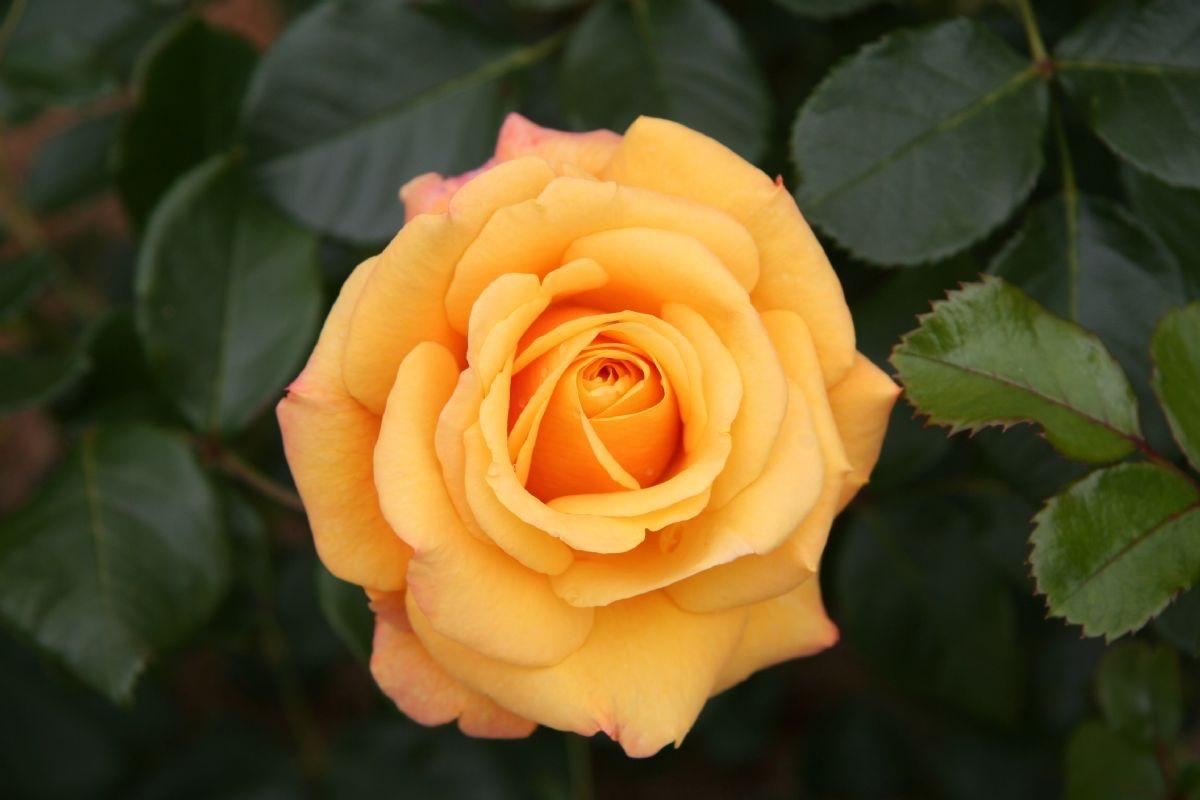 Яркая желтая роза