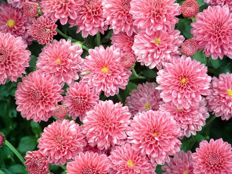 Нежно-розовые хризантемы