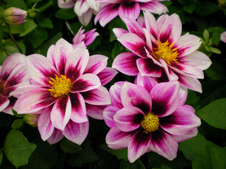 Небольшие цветы георгины