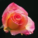 Королева клумбы: роза флорибунда