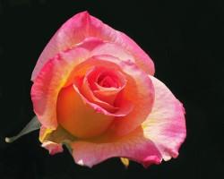 Сочетание цветов в одном цветке