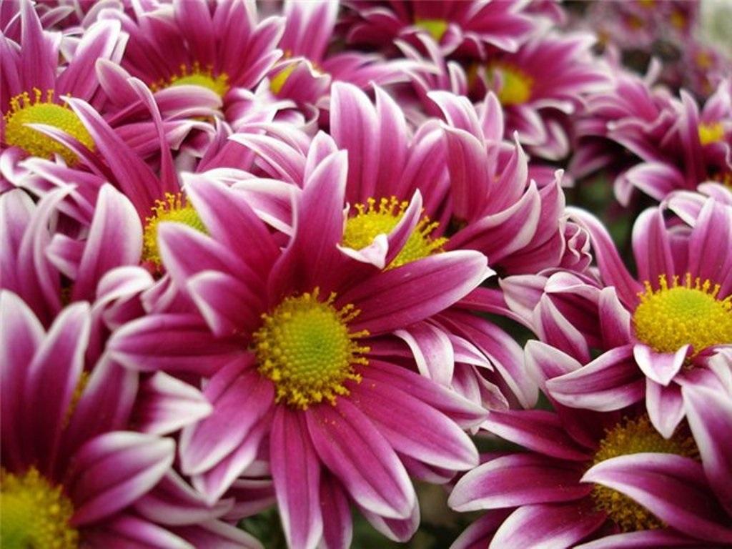 Хризантеми з гострими пелюстками