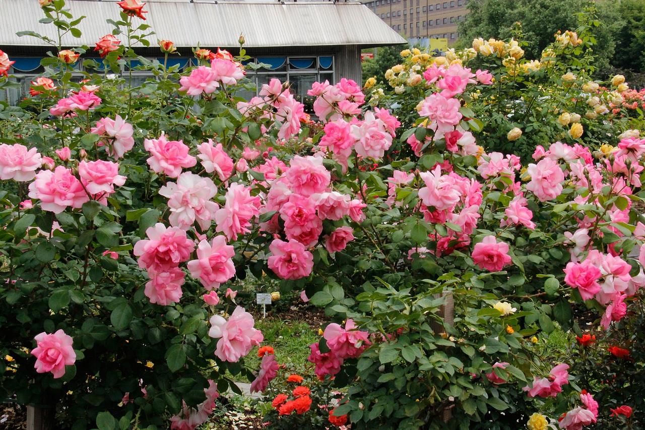Потрясающие розовые кусты