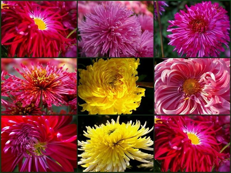 Разнообразие сортов хризантем