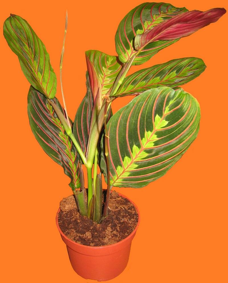 Молодое растение маранты