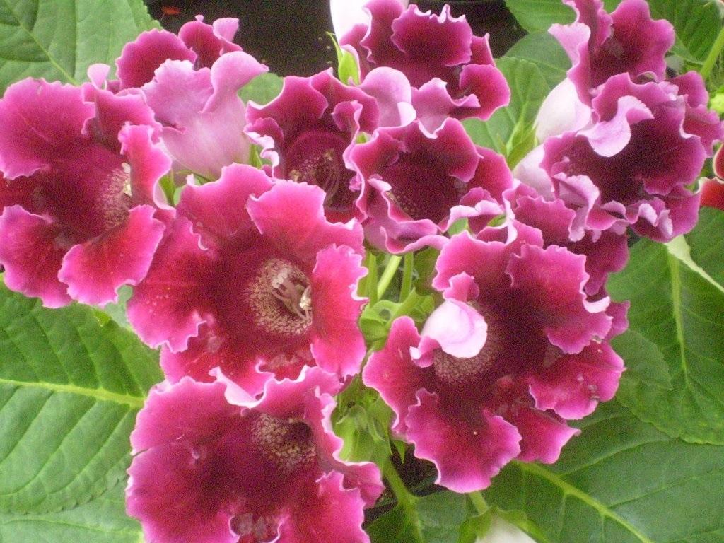 Темно-розовые колокольчики