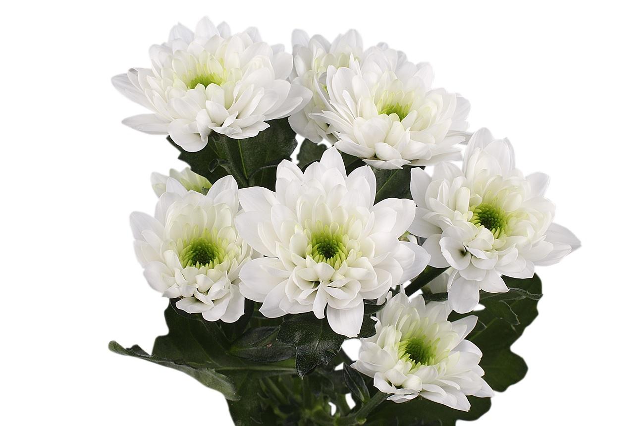 Суцвіття білої хризантеми
