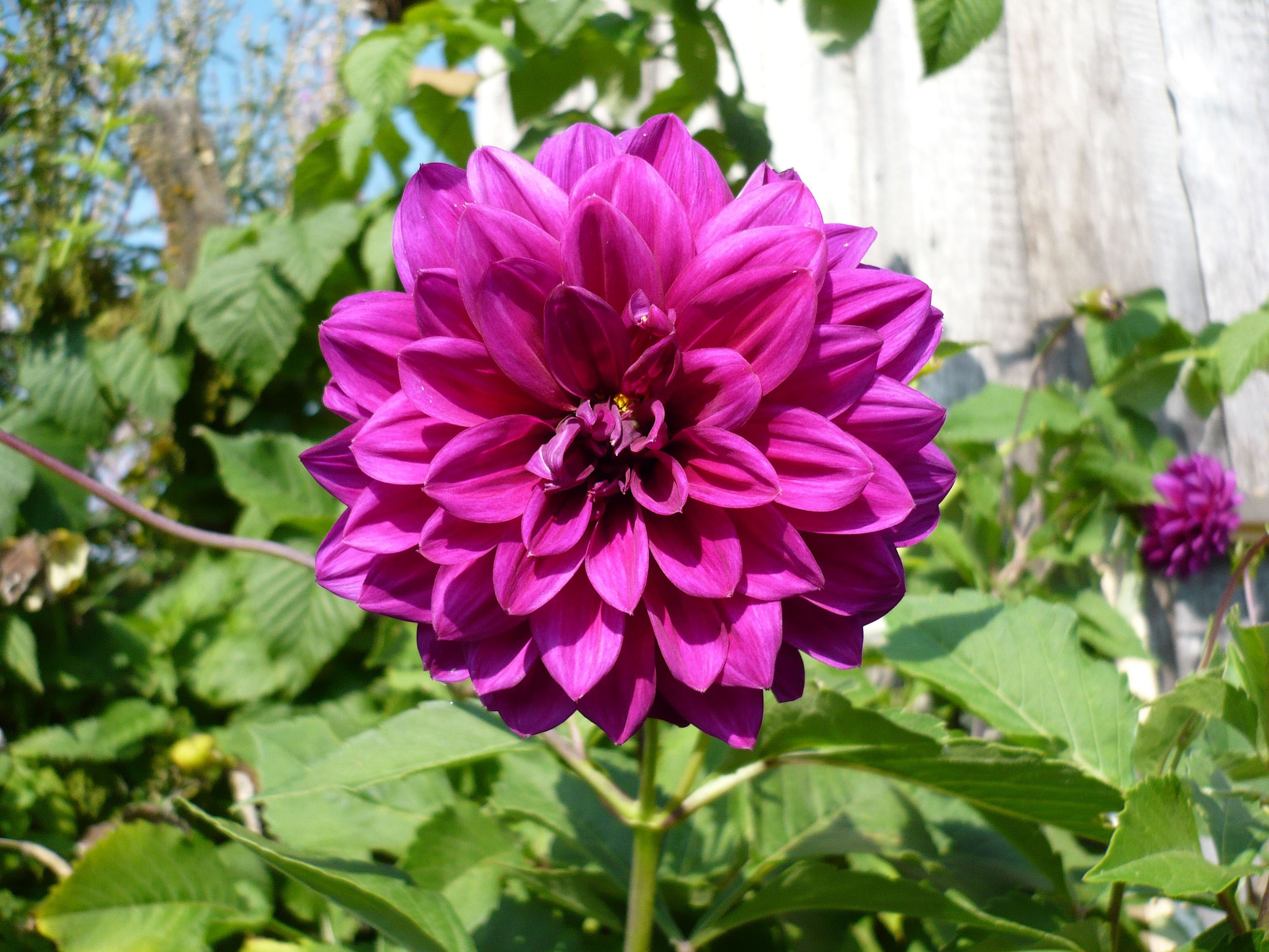 Георгина фиолетового цвета