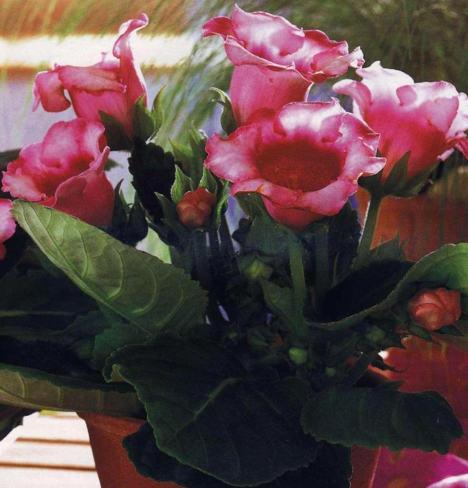 Цветущий куст глоксинии
