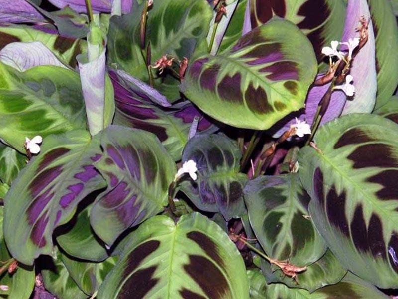 Сиреневые оттенки на листьях маранты
