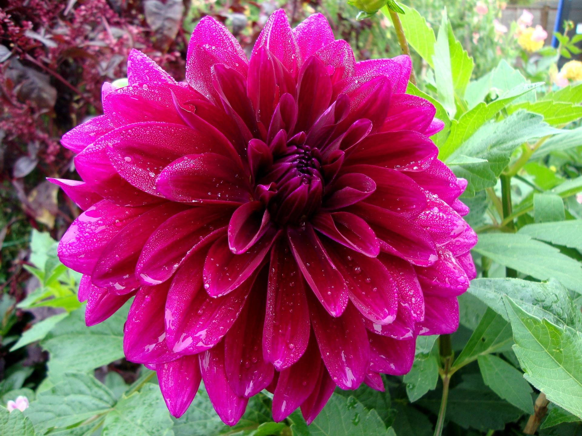 Пышное цветение георгины
